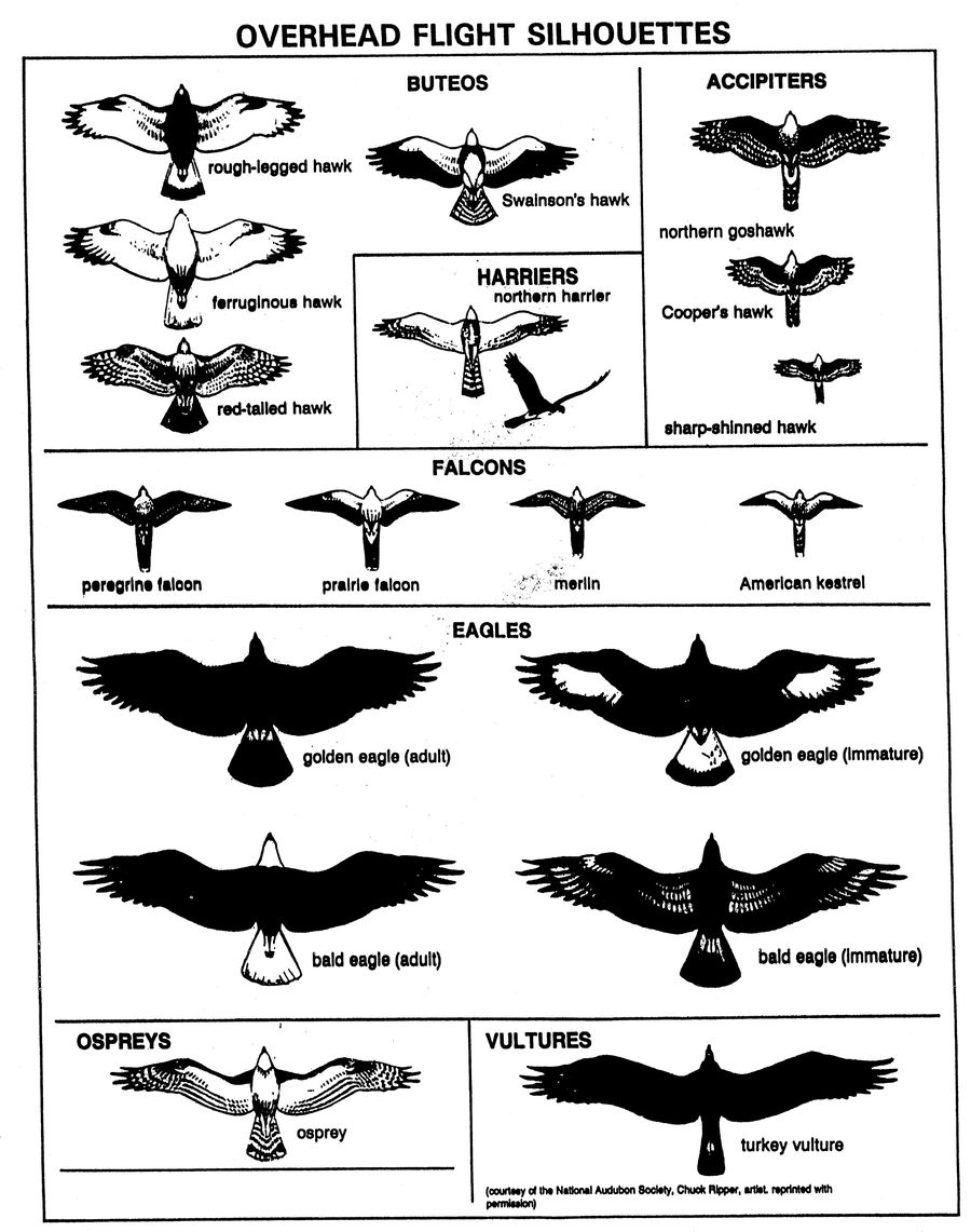 Download Bird Of Prey Silhouettes Clipart Cornell Lab Eagle Wing Diagram Bald Ornithology