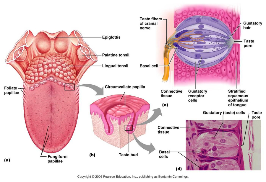 Download Tongue Anatomy Taste Buds Clipart Taste Bud Tongue Map