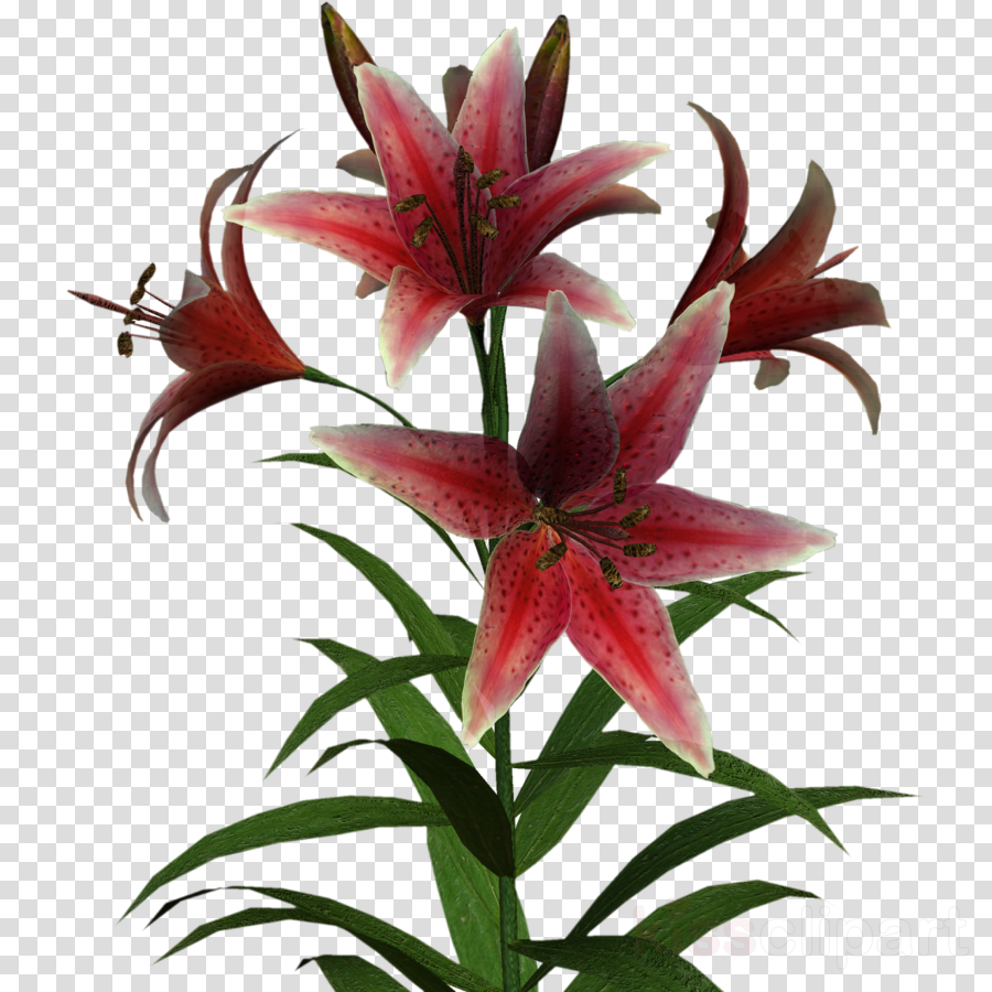 Clip art clipart Lily Flower Clip art
