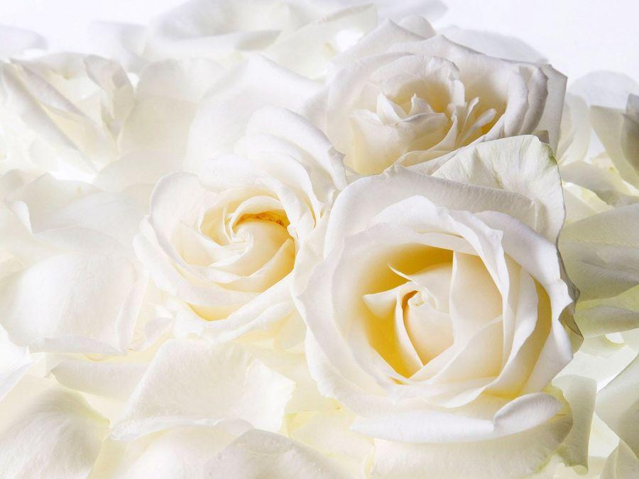 Download White Roses Background Clipart Desktop Wallpaper Rose Flower