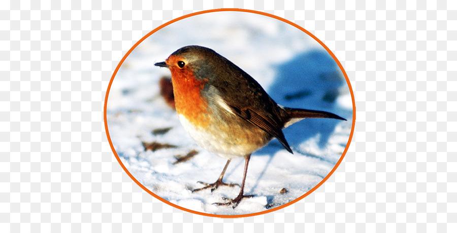 European robin clipart European robin Bird American robin
