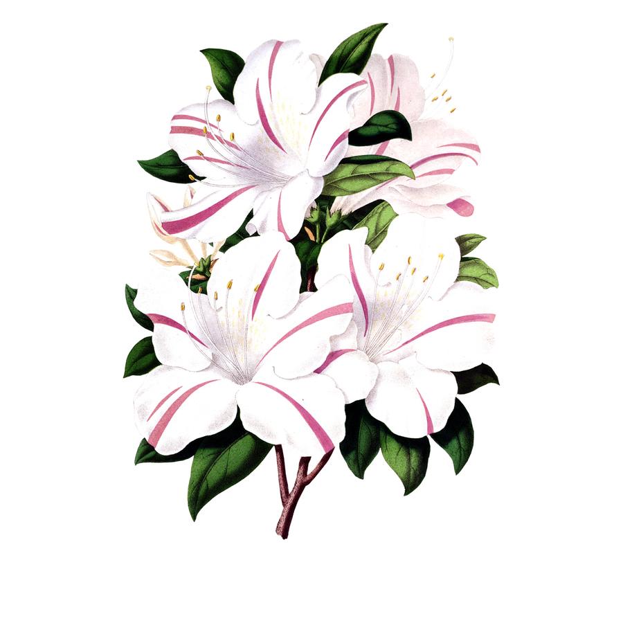Download Flower Clipart Floral Design Flower Lily Flowerlily