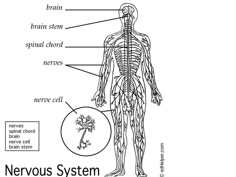 Download Nervous System Diagram For Kids Clipart Central Nervous