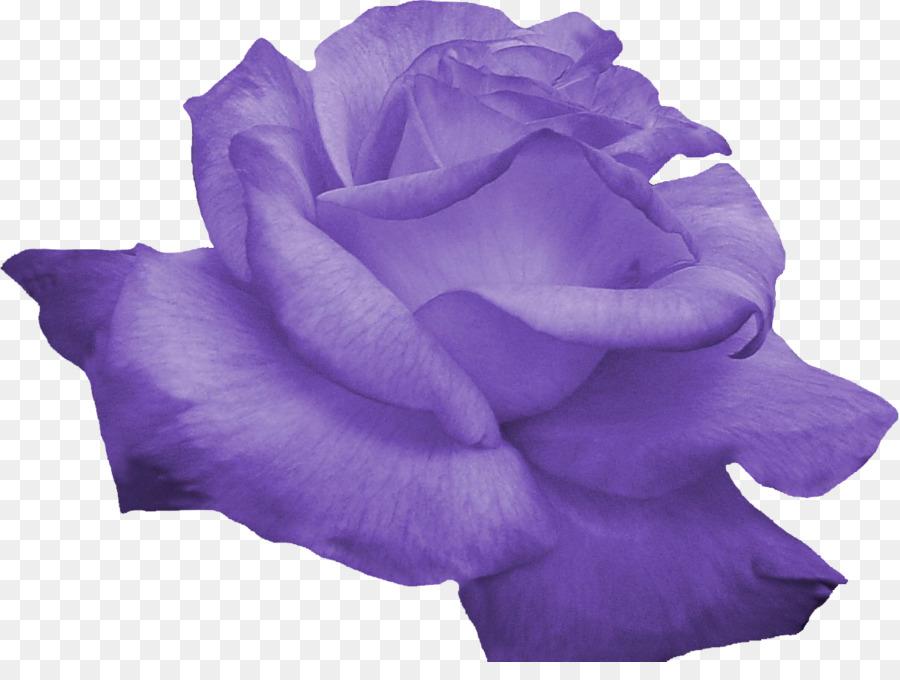 fialová clipart Garden roses Violet Blue