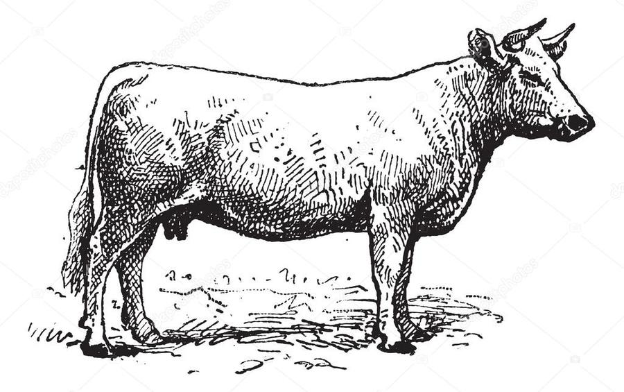 Charolais Cattle Clipart Beef Angus