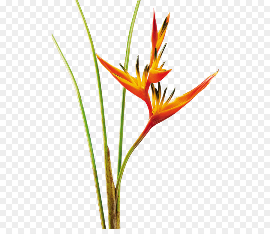 heliconias png clipart Heliconia psittacorum Flower Heliconia bihai
