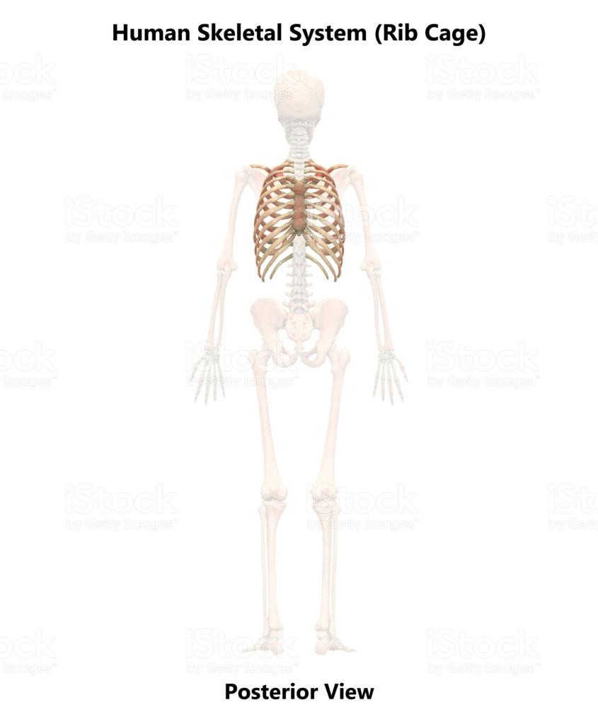 Download Geocomfort Clipart Human Skeleton Hip Humanmuscle