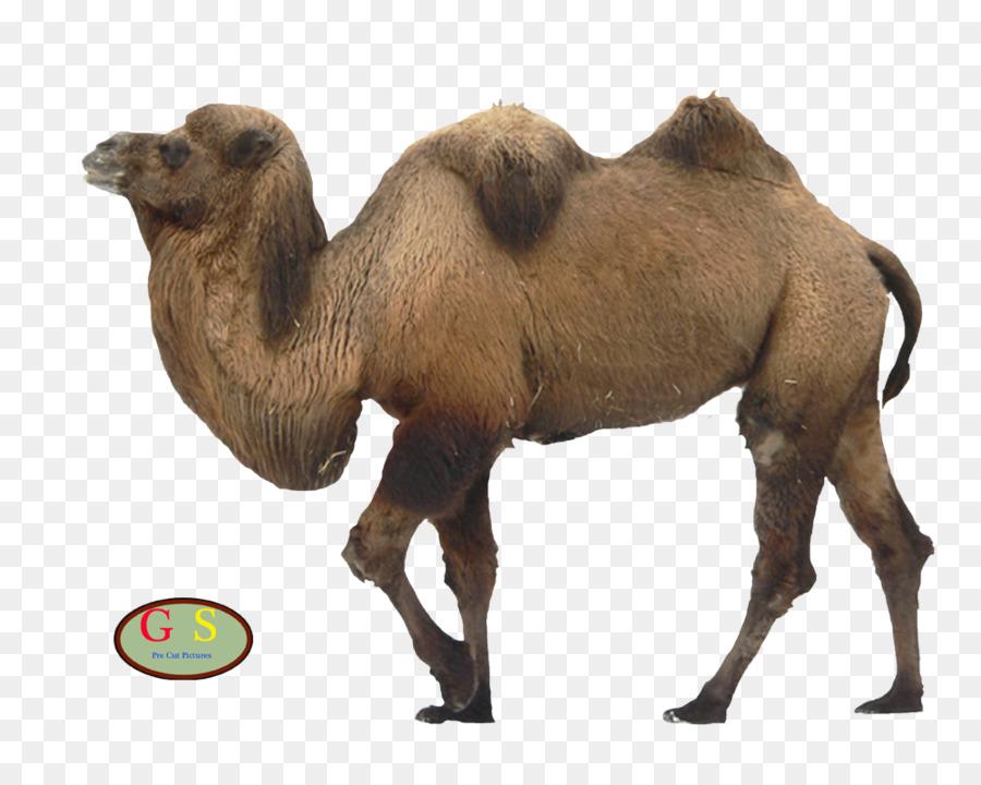 significado de camello clipart Bactrian camel Dromedary Camelids