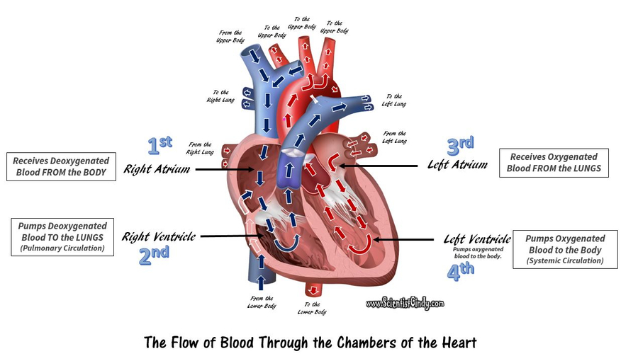 Download Heart Upper Body Clipart Human Body Anatomy Circulatory System