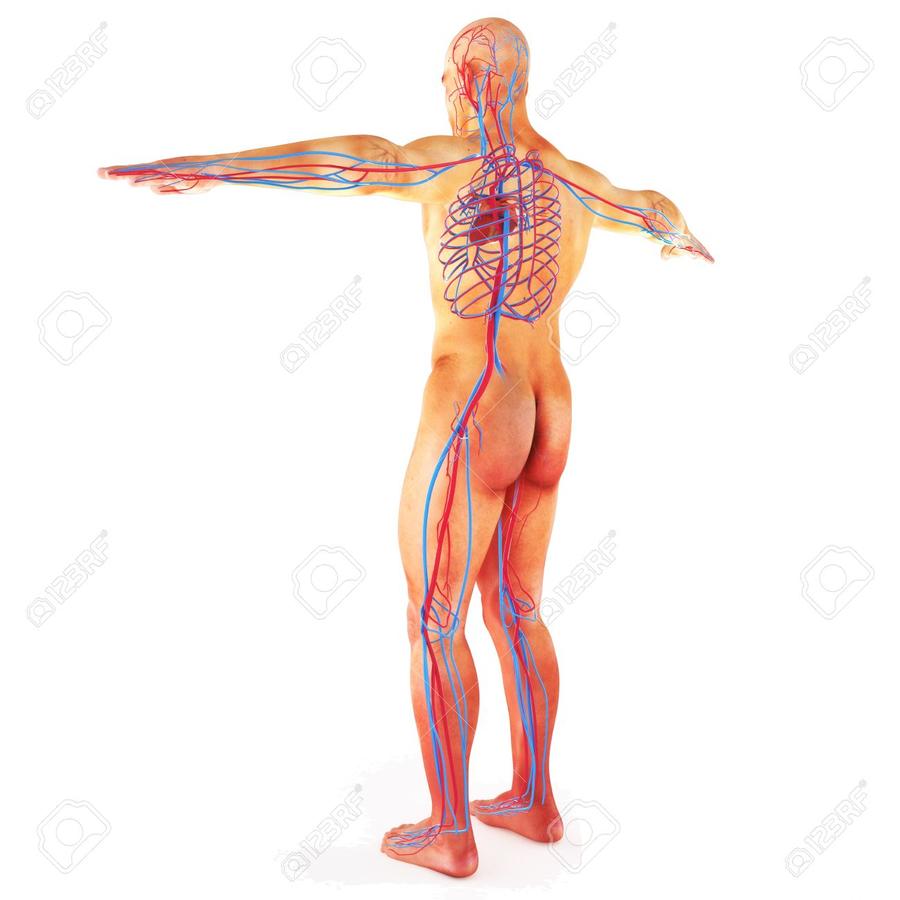 Download Circulatory System Clipart Circulatory System Human Body