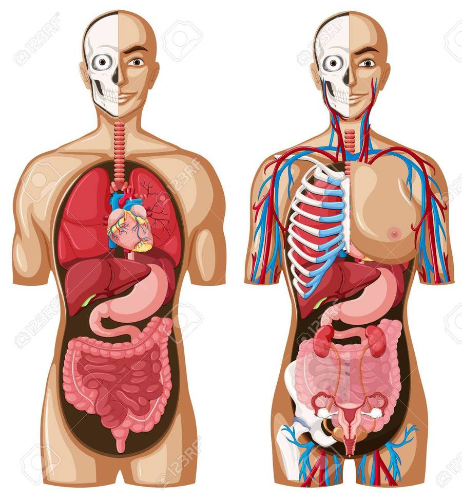 Download your organs in your body clipart Internal Organs of the ...