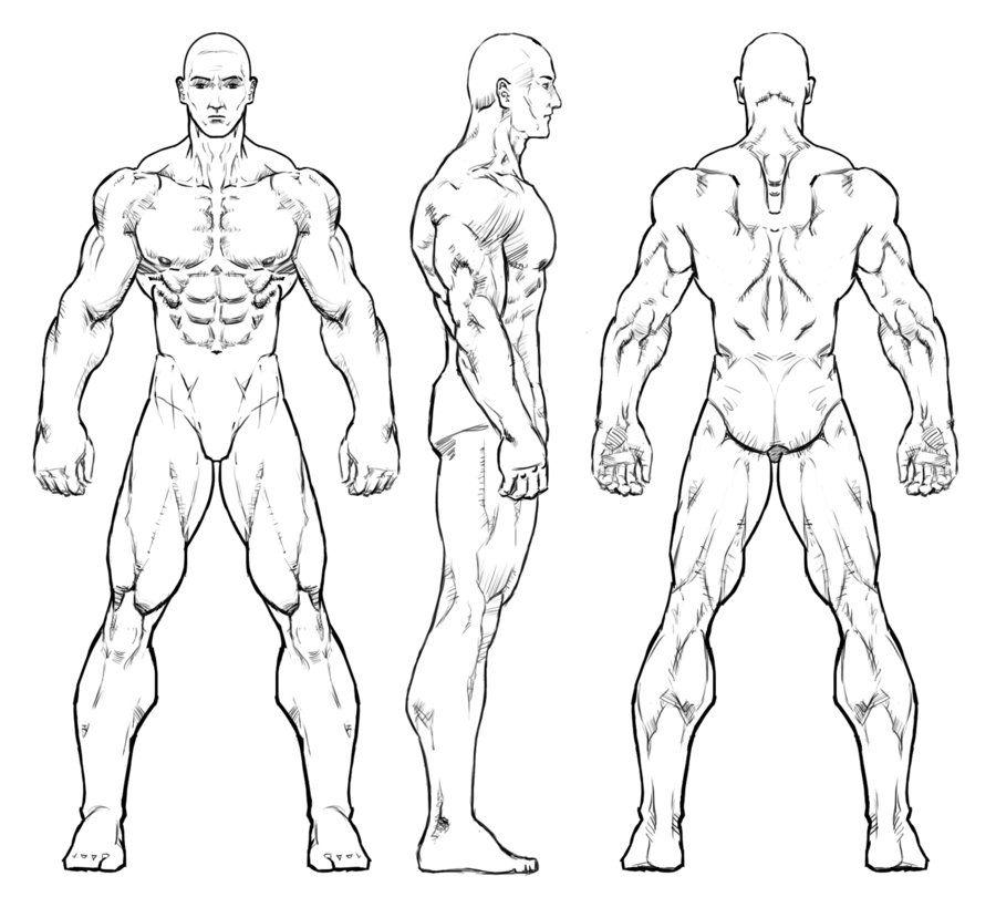 anatomy of a man drawing clipart Anatomy Human body