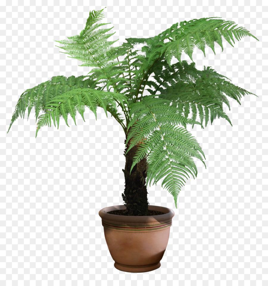 cyathea png clipart Cyathea cooperi Tree ferns