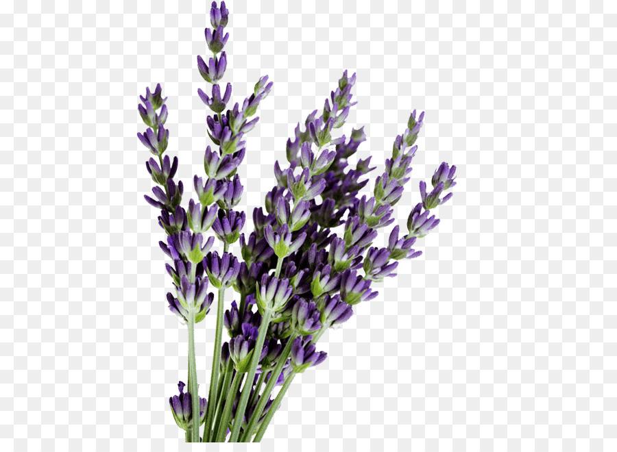 Lavender clipart English lavender French lavender Lavender oil