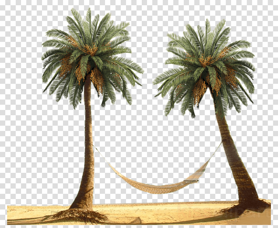 palm trees png clipart Palm trees Coconut