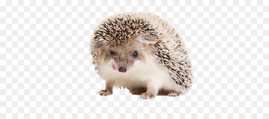 hedgehog white background clipart European hedgehog Four-toed hedgehog Desktop Wallpaper