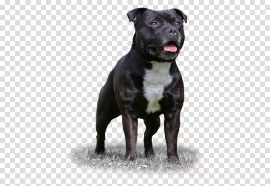 American Staffordshire Terrier clipart Dog breed Staffordshire Bull Terrier American Staffordshire Terrier