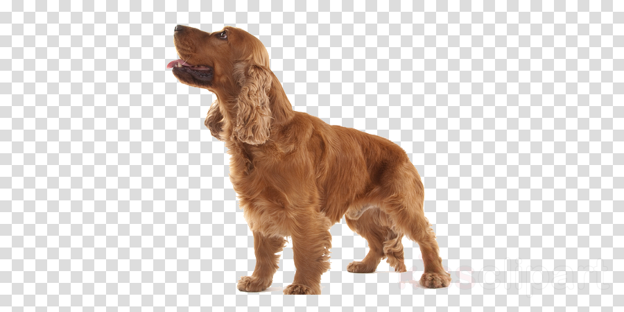 Dog clipart Irish Setter Boykin Spaniel Field Spaniel