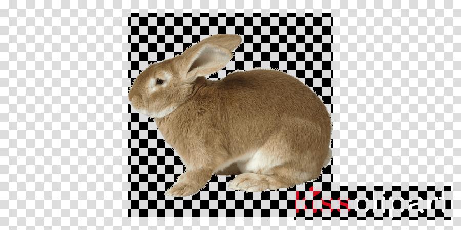 rabbit png clipart Hare Lionhead rabbit Dutch rabbit