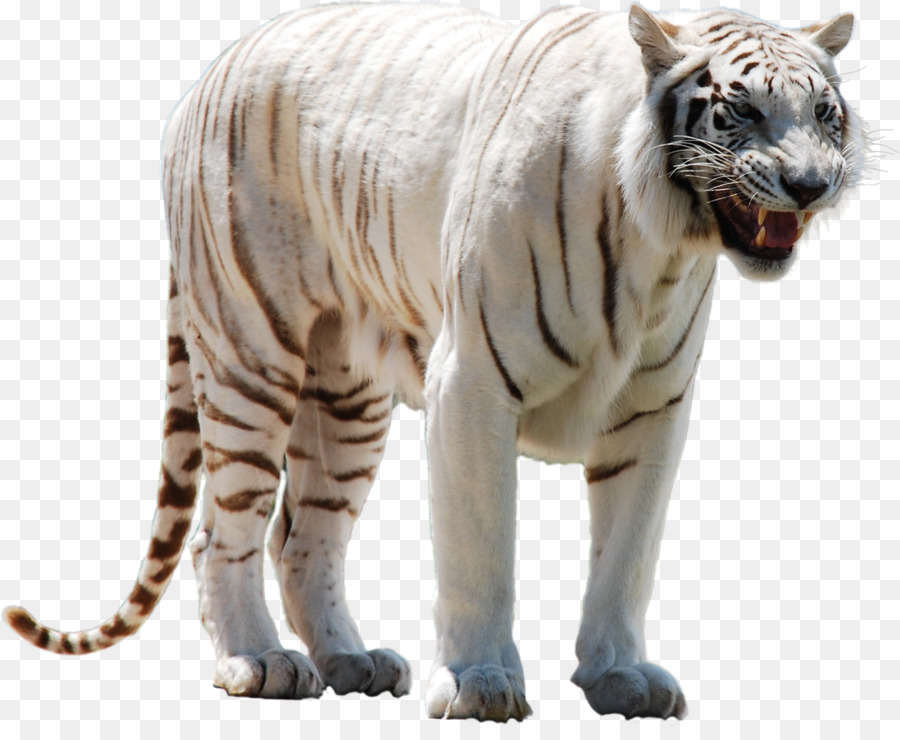 white tiger png clipart Cat White tiger