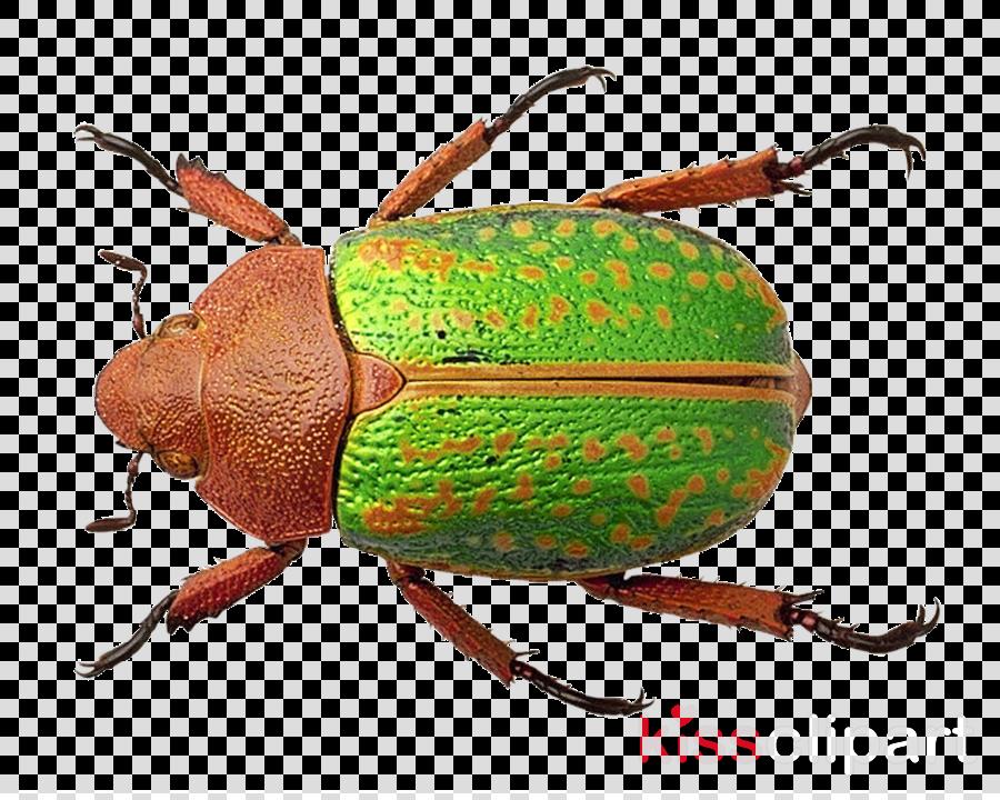 Beetle clipart Rhinoceros beetles Japanese rhinoceros beetle