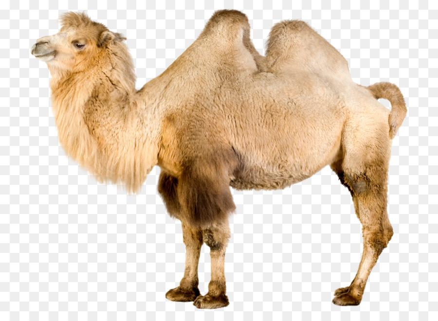 silk road bactrian camels clipart Bactrian camel Dromedary Llama