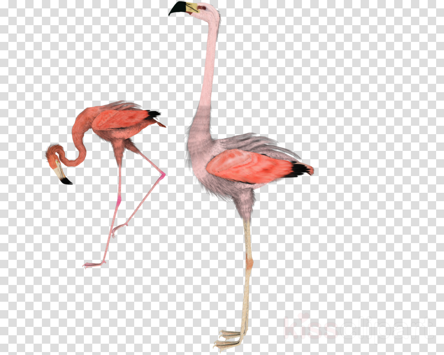flamingo clipart Flamingos Bird