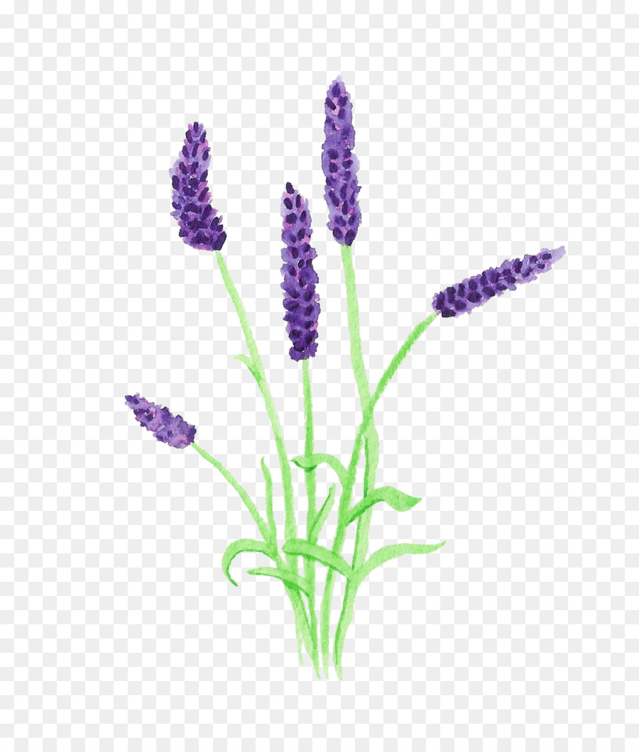 Grape hyacinth clipart English lavender Clip art