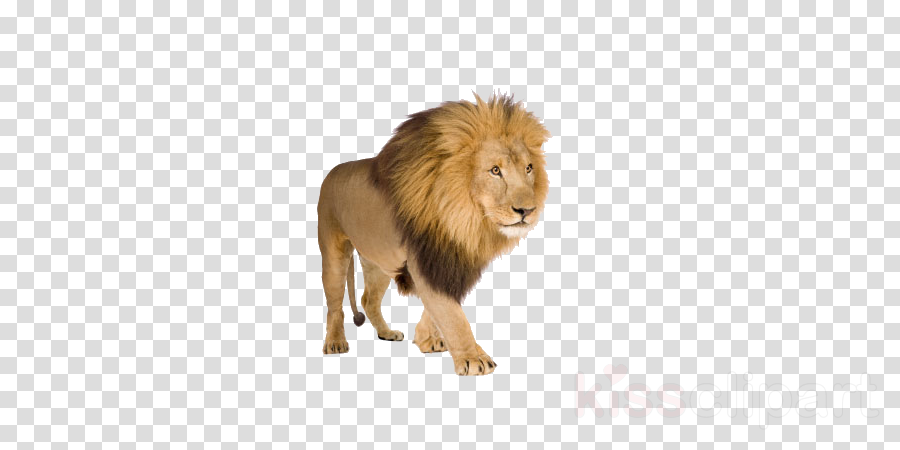 lion white background clipart East African lion White lion Stock photography