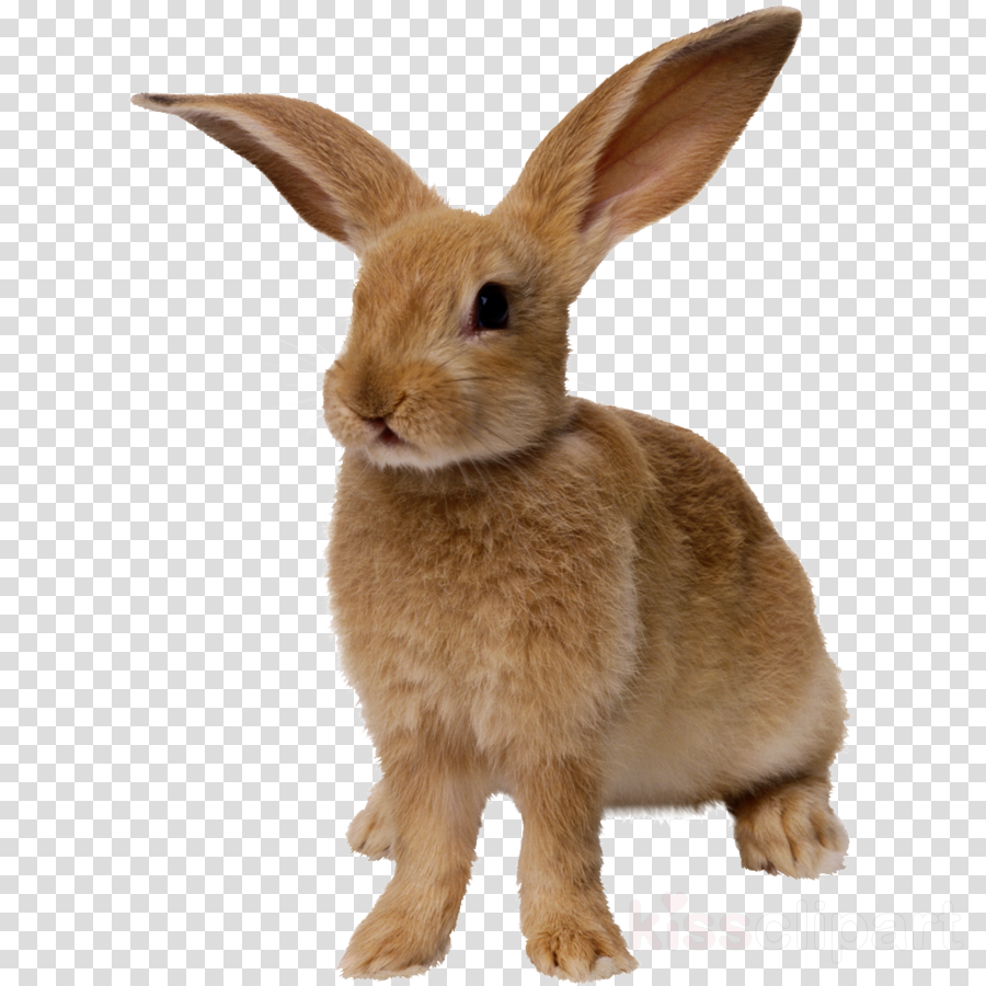 magical rabbit transparent background clipart Hare Domestic rabbit Netherland Dwarf rabbit
