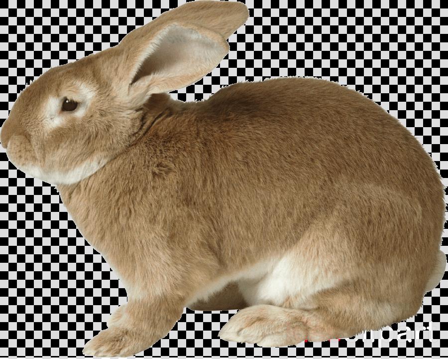 rabbit transparent clipart European rabbit Hare