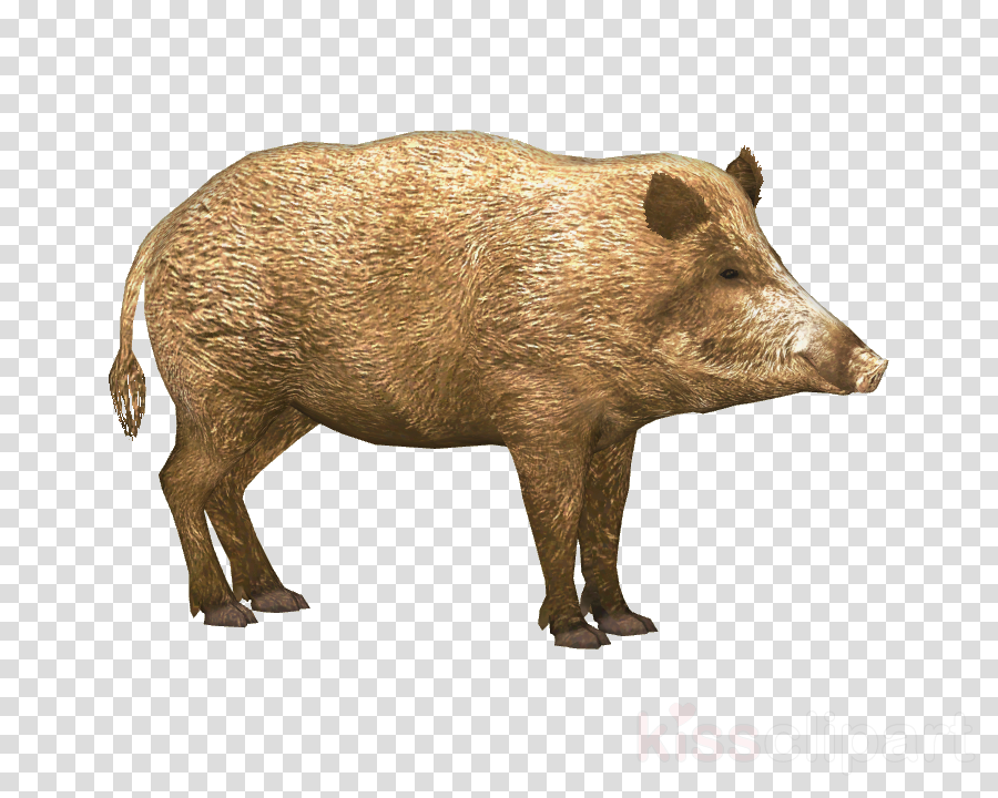 wild boar png clipart Domestic pig