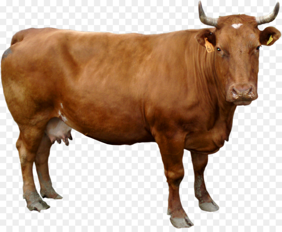 cow png clipart Holstein Friesian cattle Guernsey cattle White Park cattle