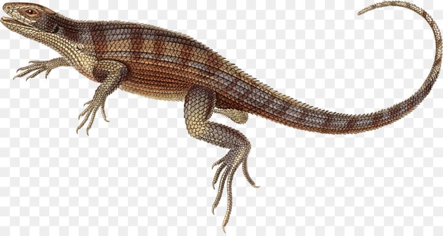 Free content clipart Agamas Lizard Reptile