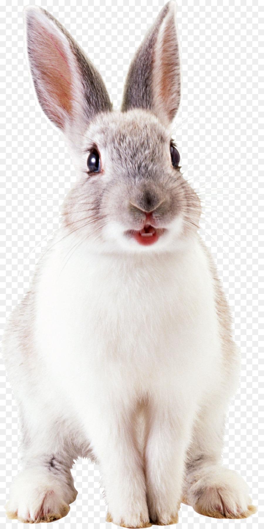 rabbit png clipart Netherland Dwarf rabbit Angel Bunny Domestic rabbit