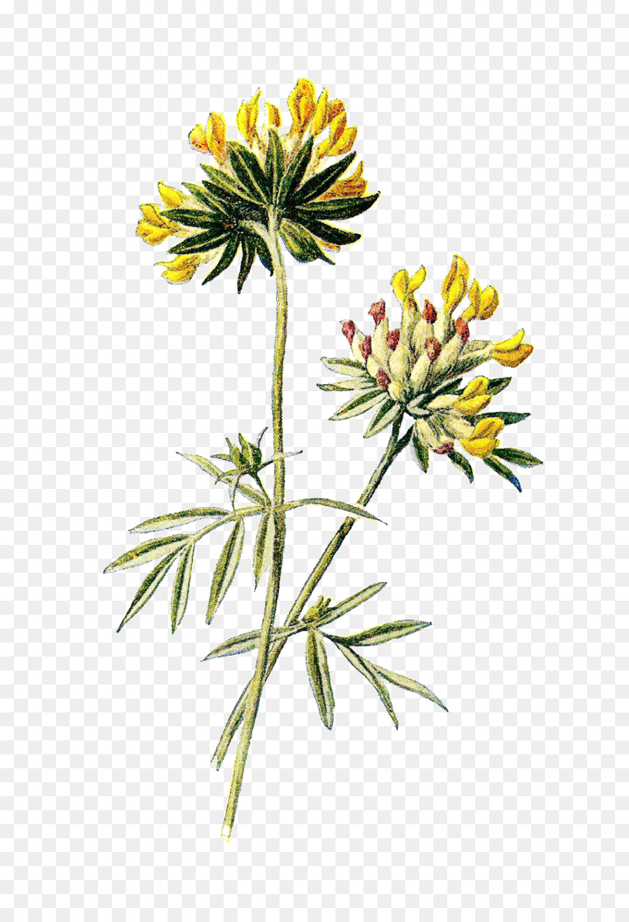 wildflower illustration png clipart Familiar Wild Flowers Wildflower