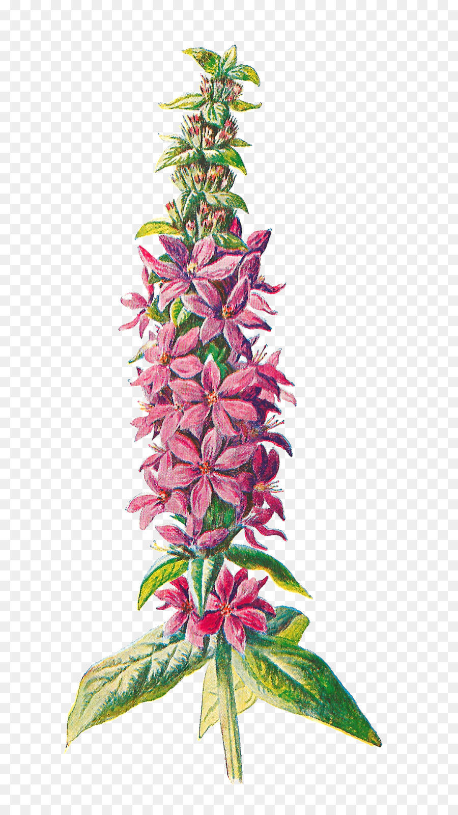 botanical hd flowers clipart Familiar Wild Flowers Purple loosestrife
