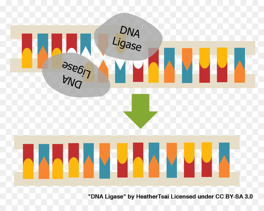 dna ligase clipart DNA ligase
