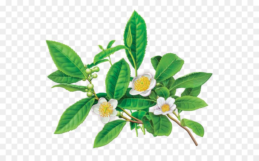 alvita - organic green tea - 24 tea bags clipart Green tea Flowering tea