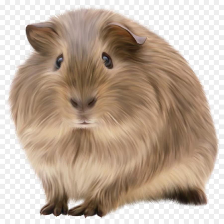 guinea pig en png clipart American Guinea Pig Rodent Abyssinian guinea pig