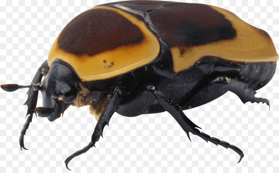 escarabajos png clipart Beetle Clip art