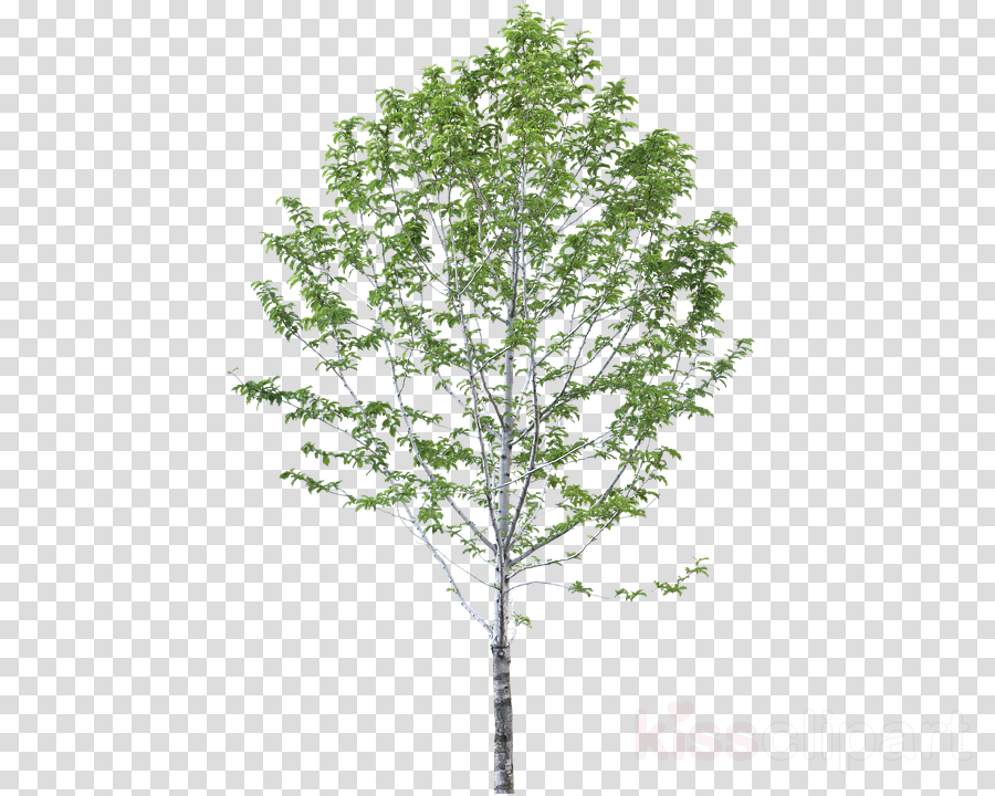 Tree, Birch, Drawing, transparent png image & clipart free download