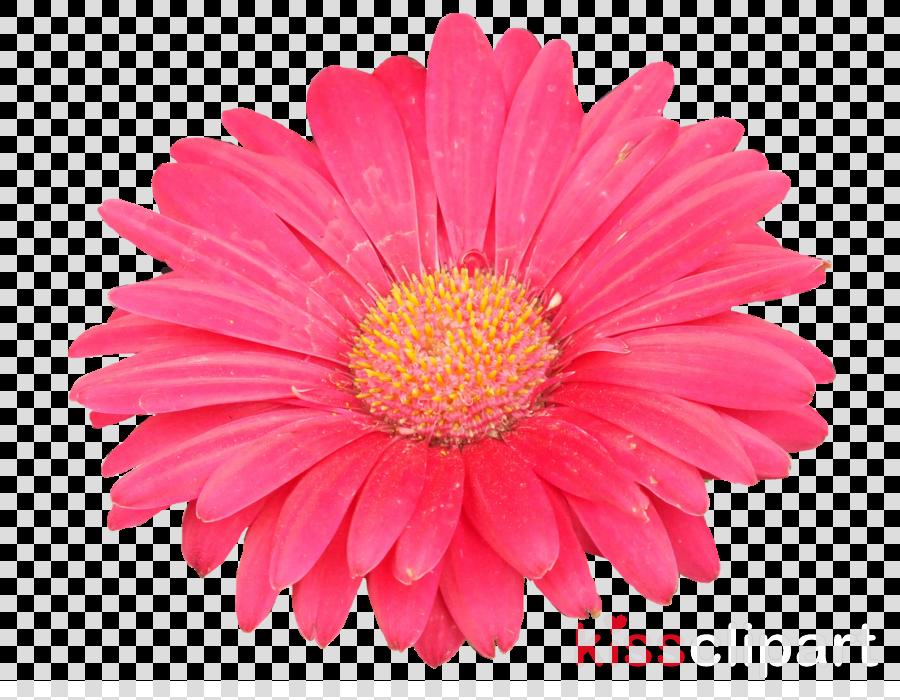 Aster clipart Transvaal daisy Birth flower