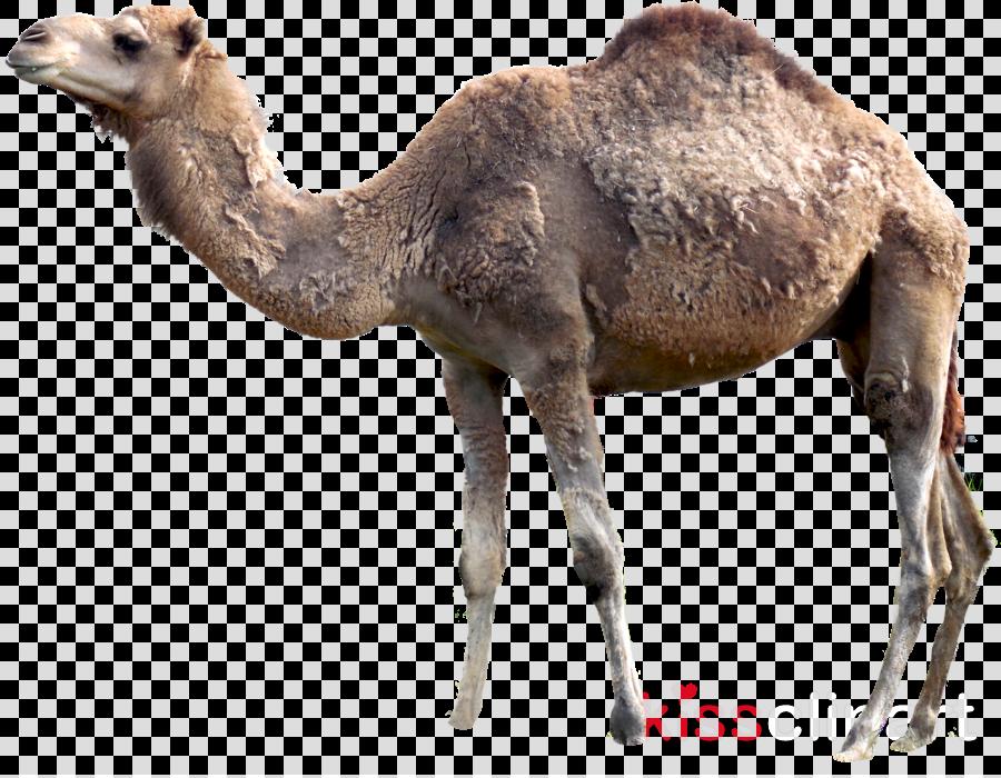 camel png clipart Bactrian camel Dromedary