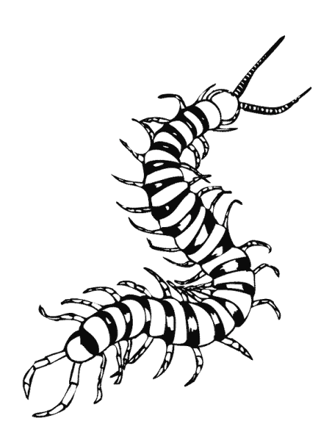 centipede clipart Centipedes Drawing Coloring book