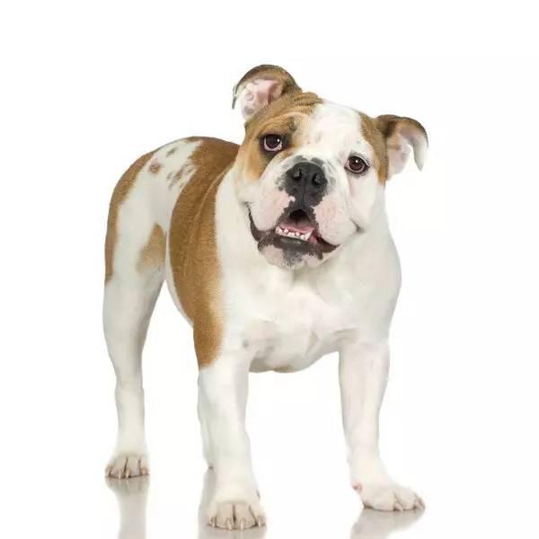 American Bully Dog