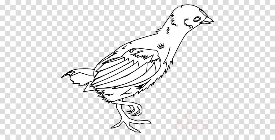 young chicken drawing clipart Plymouth Rock chicken Broiler Cochin chicken