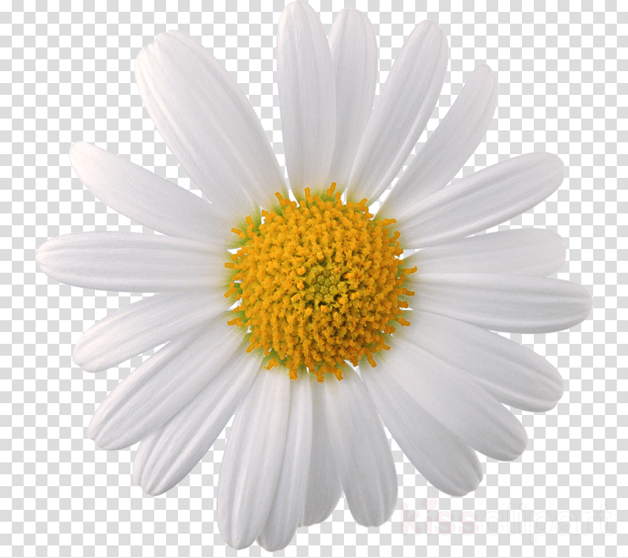 camomile png clipart Chamomile