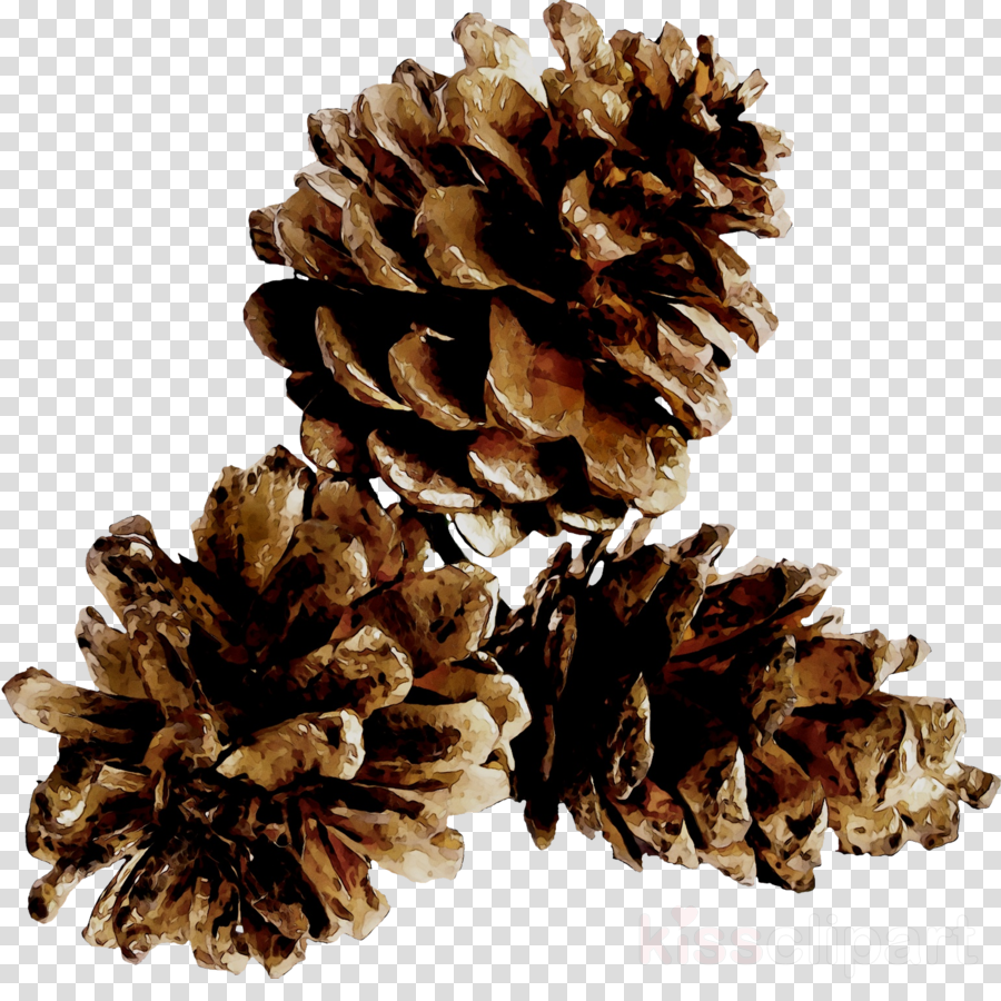 pinecones png clipart Pine Conifer cone
