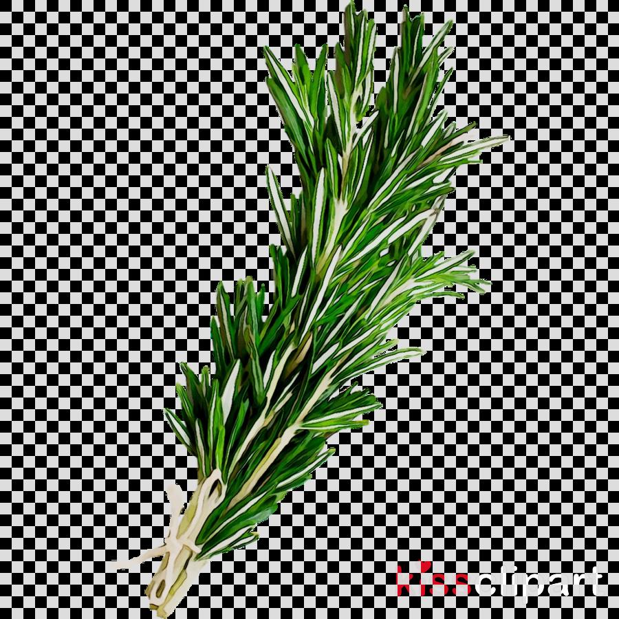 Tea Tree Oil Clipart Oil Plant Leaf Transparent Clip Art
